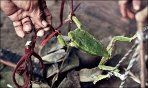 Kambo frog harvesting